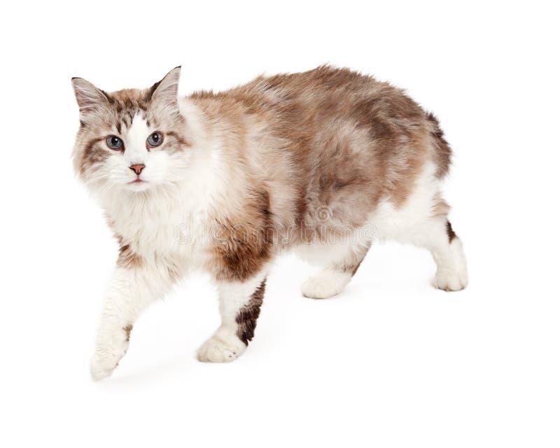 Attentive Ragodoll Cat Walking stock images