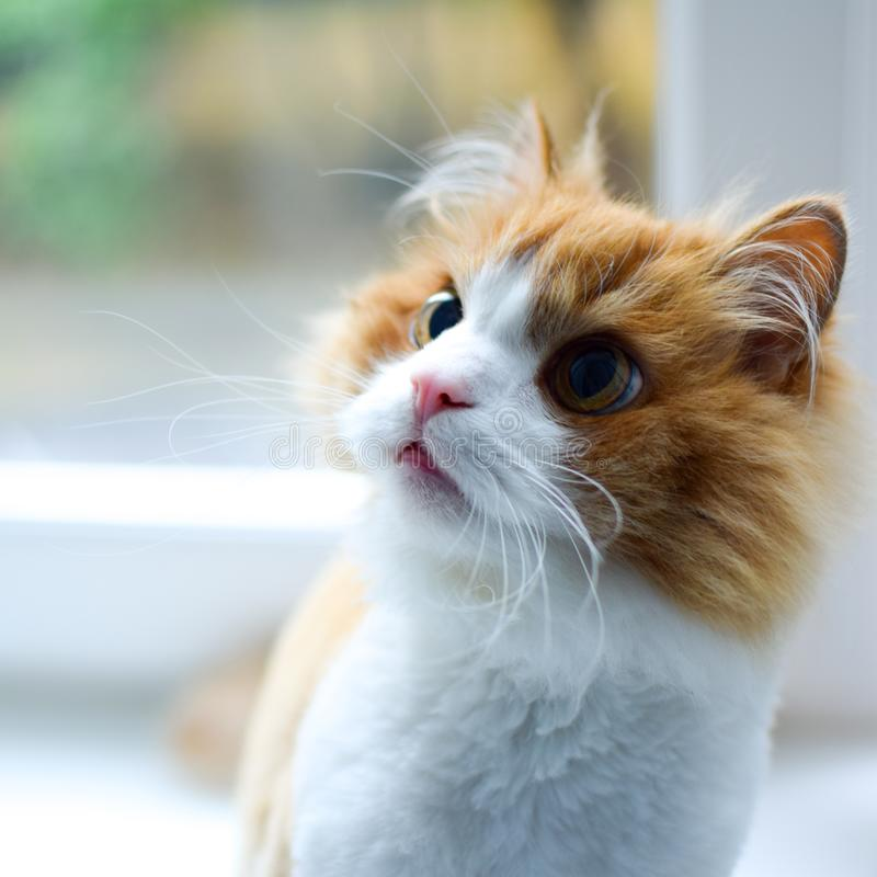 Attentive red and white haircut cat sits on a white window sill. With green outside the window stock photo