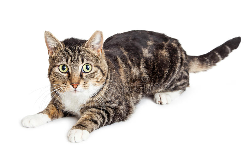 Attentive Tabby Cat Green Eyes royalty free stock photos