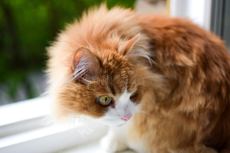 Attentive and wary red with white fluffy cat sitting on a white windowsill. With green outside the window royalty free stock images