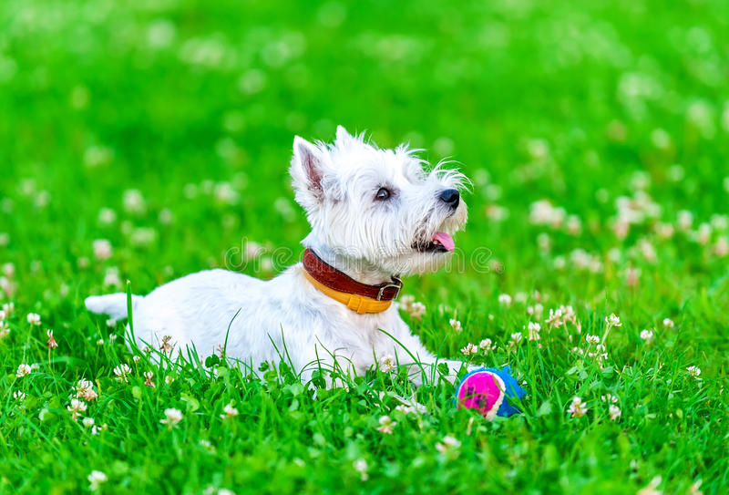 Download Attentive West Highland White Terrier With Ball Dog Toy Royalty Free Stock Images - Image: 33927509
