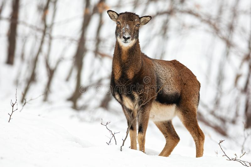 Attentive wild female mouflon sheep standing in snow in winter forest. stock photo