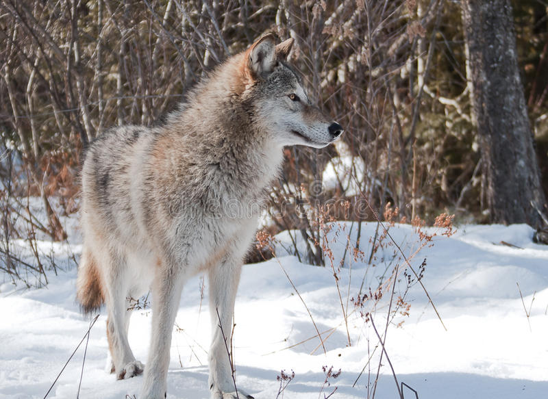 Attentive wolf royalty free stock photography