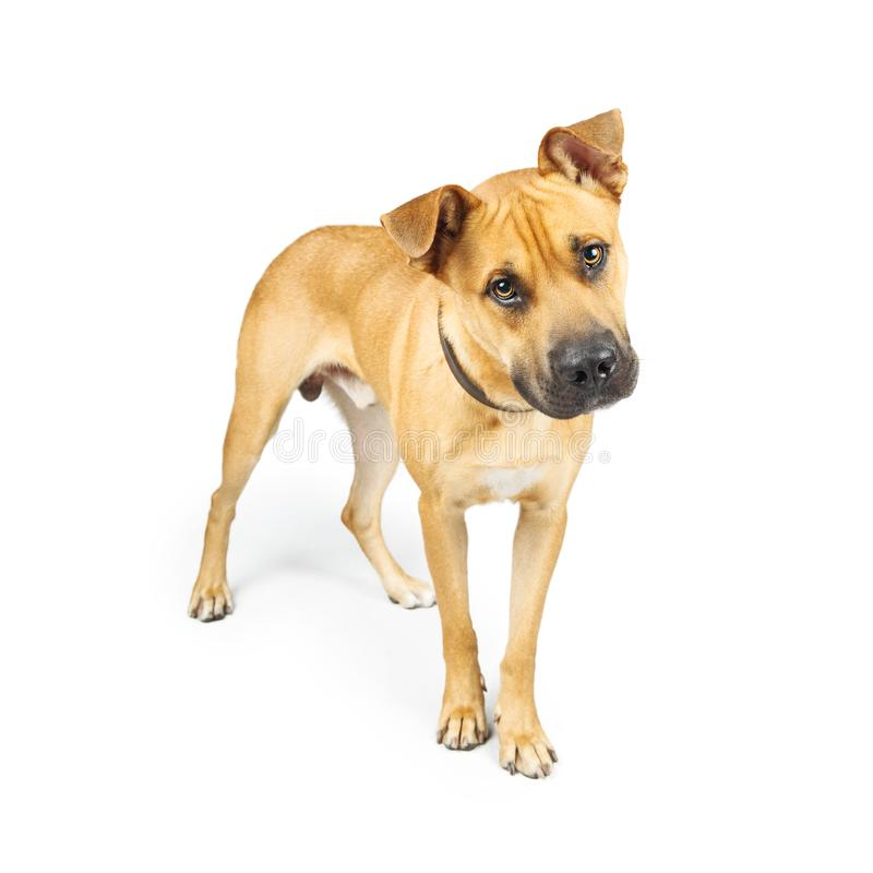Attentive Yellow Large Mixed Breed Dog stock photos