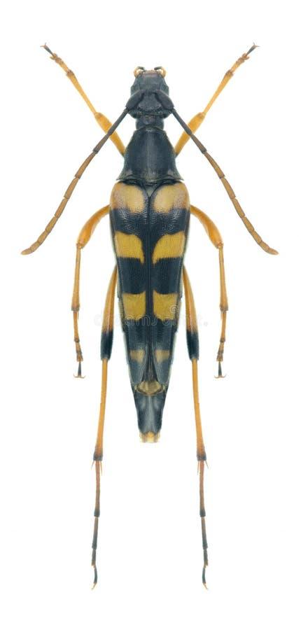 Attenuata de Strangalia del escarabajo del Capricornio imagen de archivo