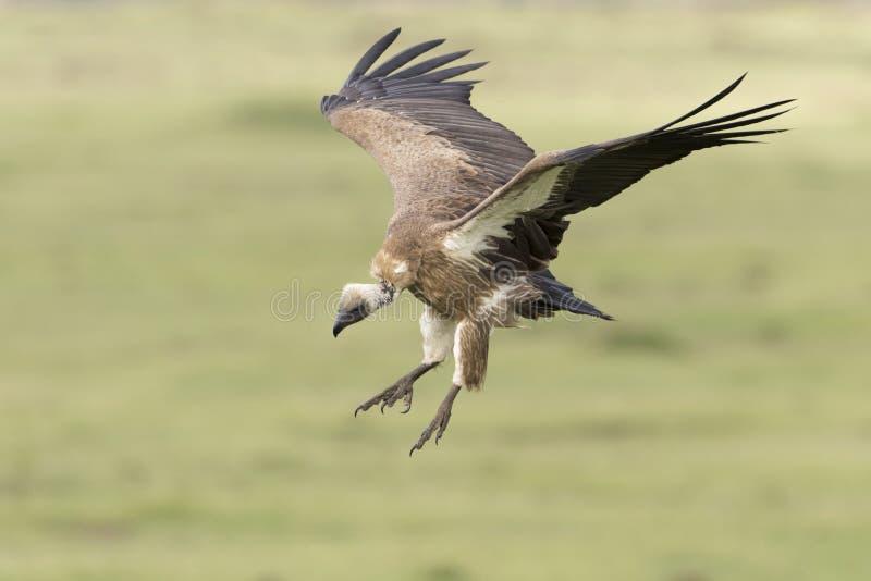 Atterraggio dal dorso bianco dell'avvoltoio fotografia stock libera da diritti