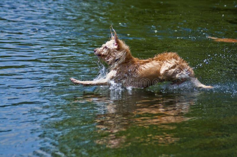 Atterraggio del cane in acqua fotografia stock