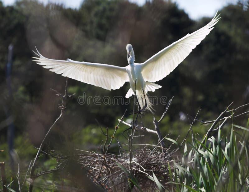 Atterraggio del egret di Snowy immagini stock
