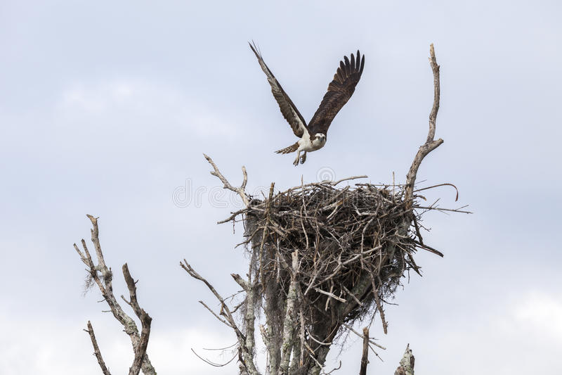 Atterraggio del falco pescatore sul nido dopo avere cercato fotografia stock libera da diritti