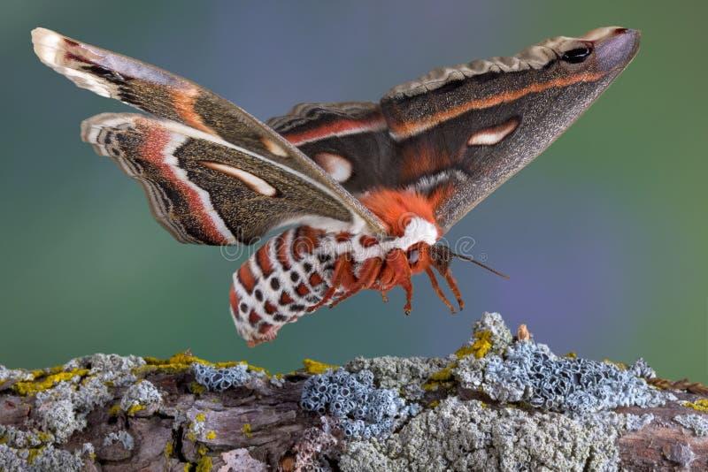 Atterraggio del lepidottero di Cecropia sulla filiale fotografia stock