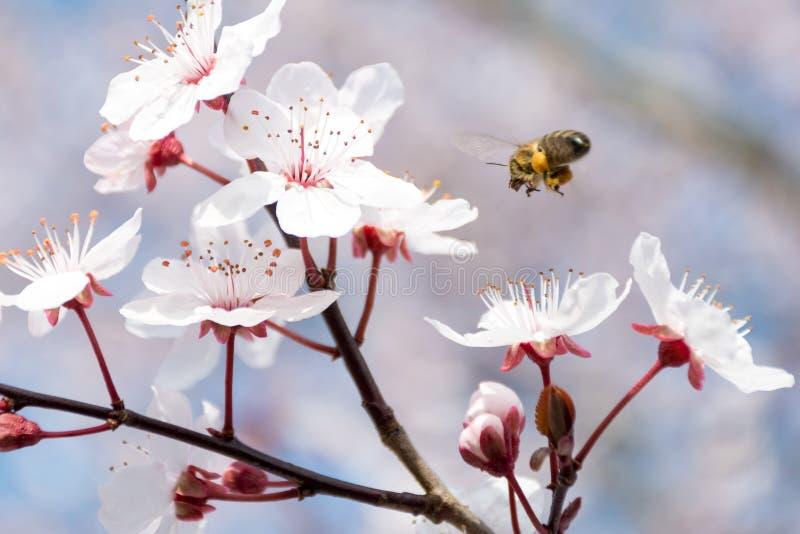 Atterraggio dell'ape sul fiore di ciliegia durante il pollenation fotografia stock