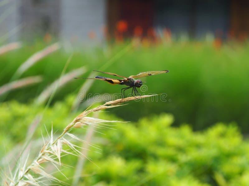 Atterraggio della libellula alla punta di erba fotografie stock libere da diritti