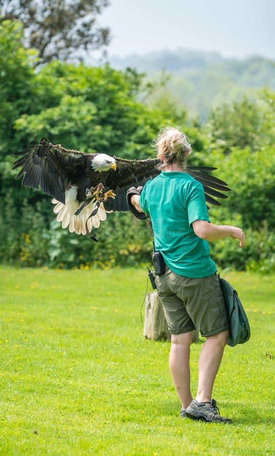 Atterraggio di Eagle sulla mano dell'operatore dell'uccello fotografia stock
