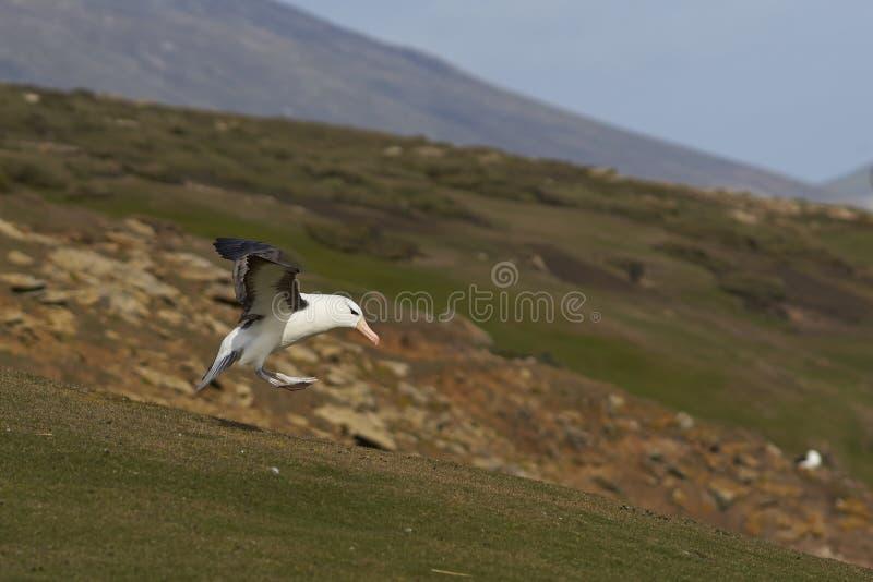 atterraggio Nero-browed dell'albatro - Falkland Islands immagine stock libera da diritti