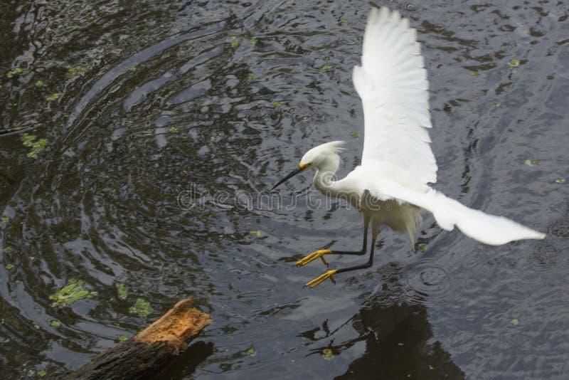 Atterraggio su un ceppo sommerso, Florida dell'egretta di Snowy immagine stock libera da diritti