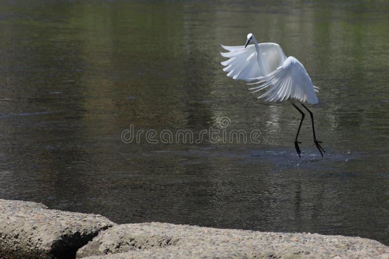 Atterrissage blanc de héron en rivière à Kyoto photos stock