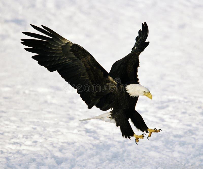Atterrissage d'aigle chauve photographie stock libre de droits