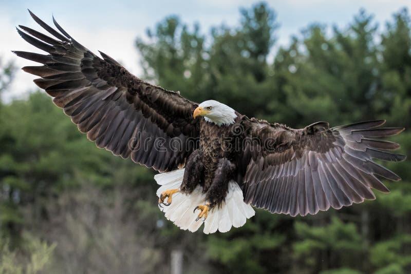 Atterrissage d'aigle chauve photos stock