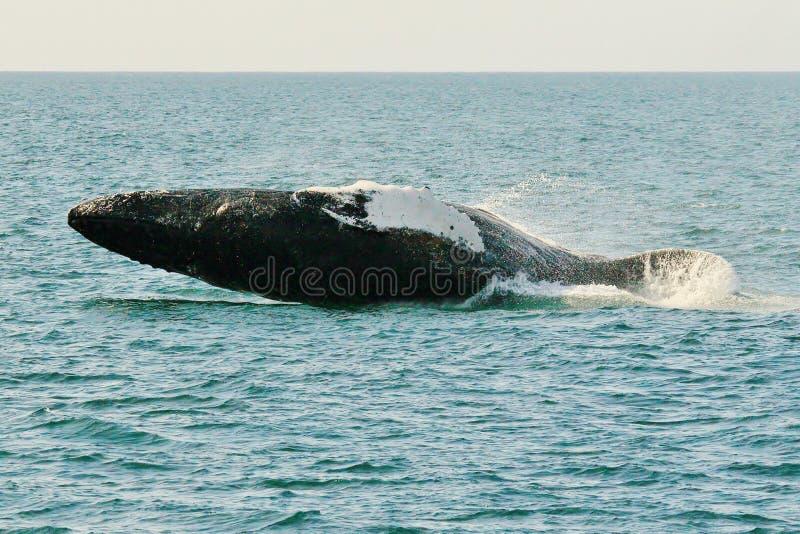 Atterrissage de baleine de bosse après saut image stock