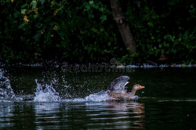 Atterrissage de canard photographie stock