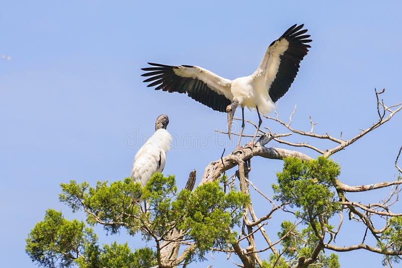 Atterrissage de cigogne en bois sur un arbre photographie stock