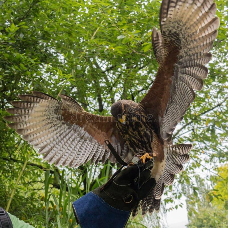 Atterrissage de faucon sur un gantelet de fauconnerie photos stock
