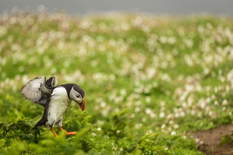 Atterrissage de macareux parmi la végétation photographie stock