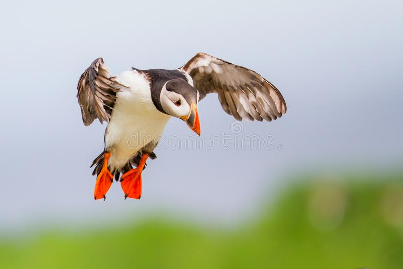 Atterrissage de macareux photo libre de droits