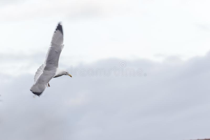 Atterrissage de mouette à un arrière-plan bleu images libres de droits