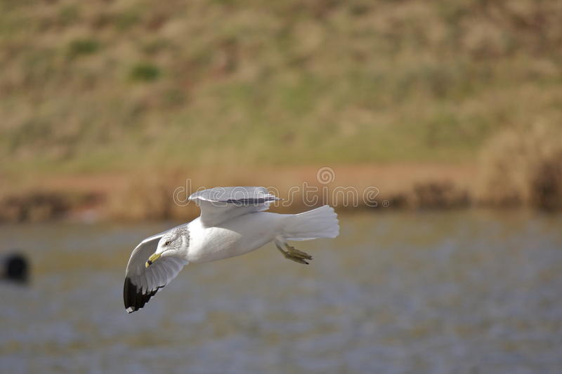 Atterrissage de mouette photo stock