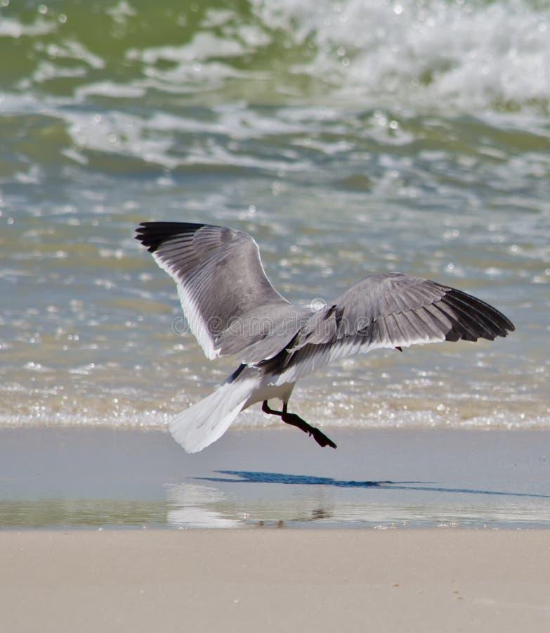 Atterrissage de mouette sur la plage orange image libre de droits