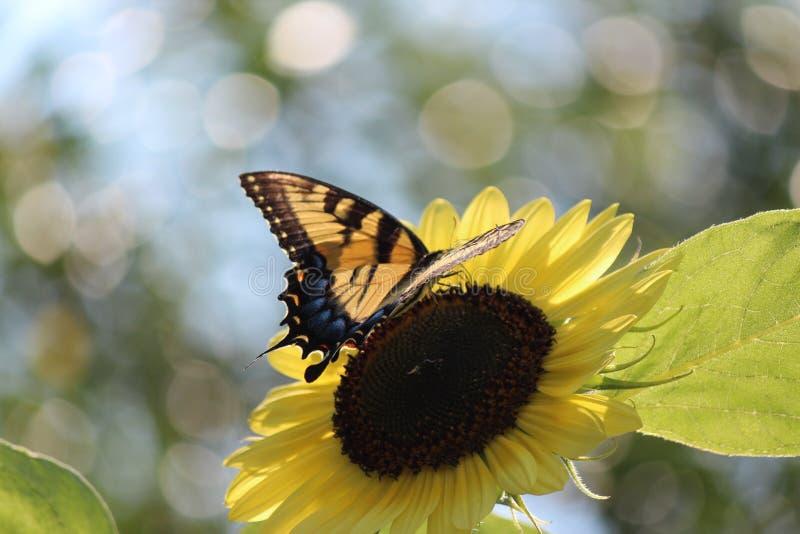 Atterrissage de papillon photos libres de droits