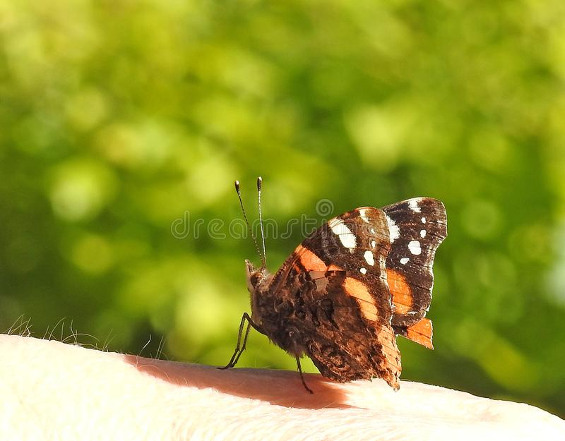 Atterrissage de papillon d'amiral rouge sur la main humaine photo stock