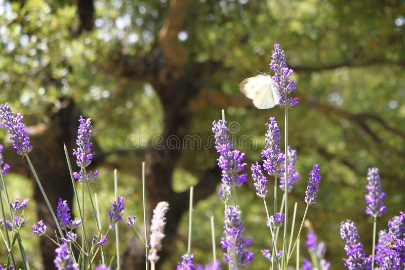 Atterrissage de papillon sur la fleur de lavande image libre de droits