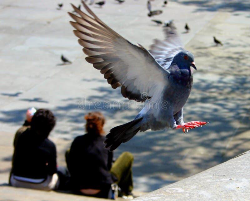 Atterrissage de pigeon - certains ébruitent visible photo stock
