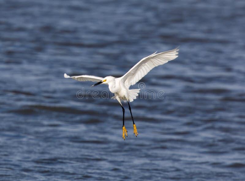 Atterrissage de thula d'Egretta de héron de Milou photographie stock libre de droits
