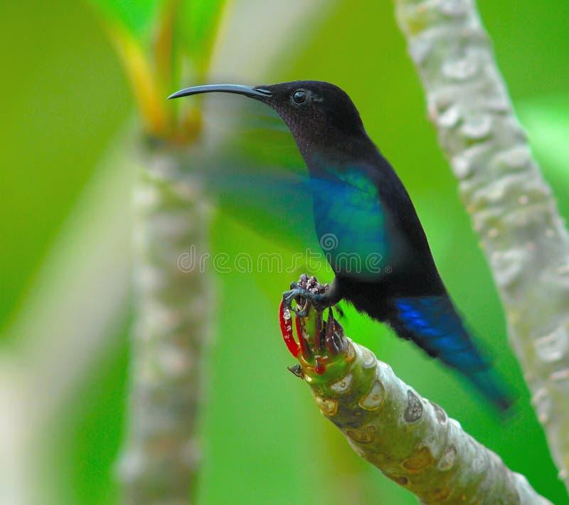 atterrissage Pourpre-throated de Carib sur une branche de Frangipani photographie stock