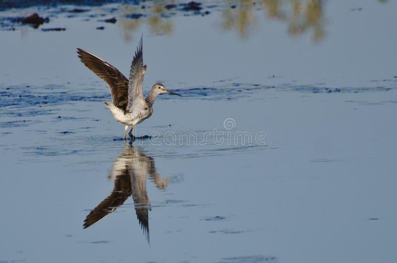 Atterrissage solitaire de bécasseau sur l'eau photographie stock libre de droits