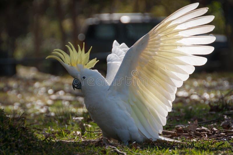 Atterrissage soufre-crêté sauvage de cacatoès avec la diffusion blanche d'ailes, crête augmentée photos libres de droits
