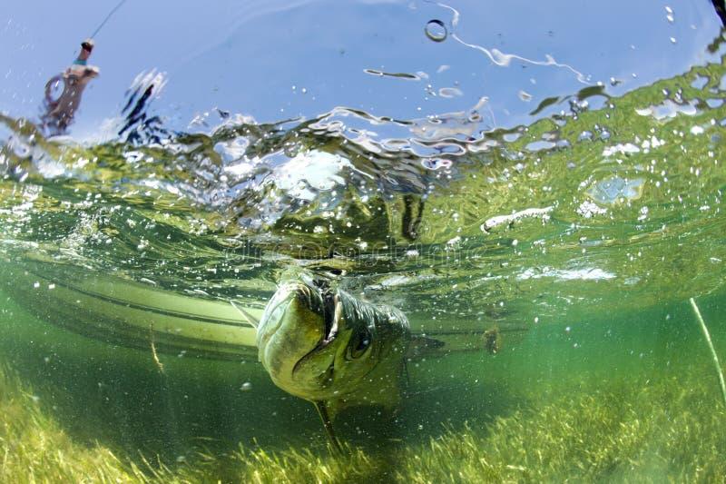 Atterrissant un tarpon d'un bateau - eau du fond images stock