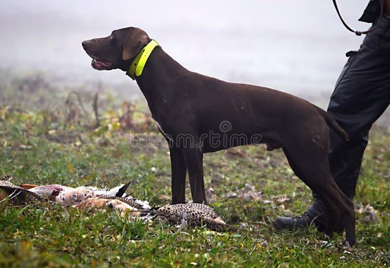 Attesa del cane da caccia fotografia stock libera da diritti