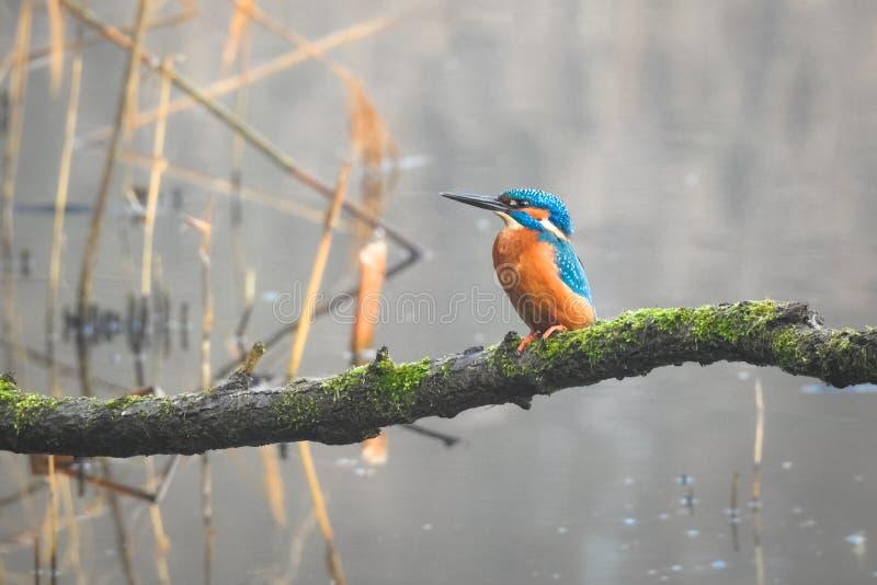 Atthis van een zit gemeenschappelijke ijsvogelalcedo op tak boven het water van een klein meer stock foto's