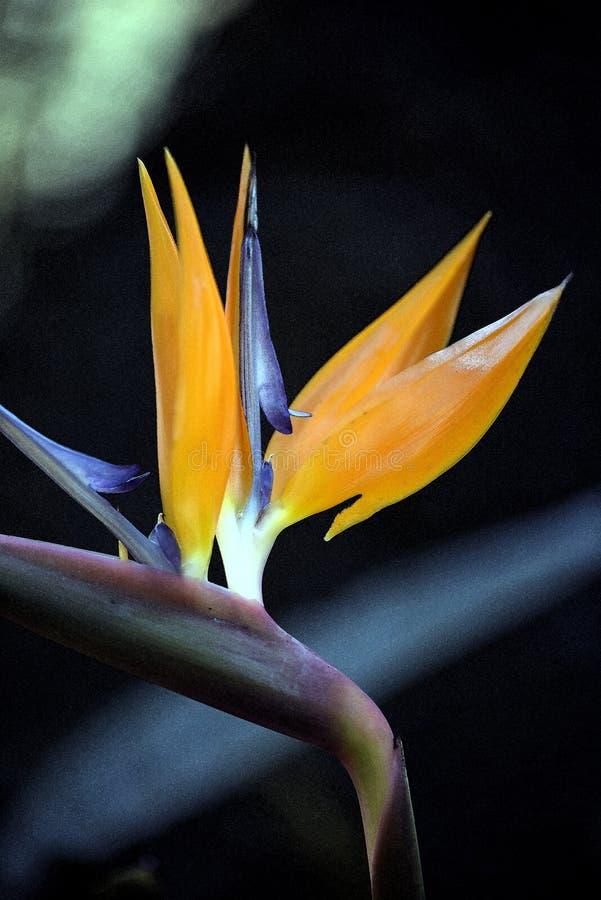 Attingere foto del fiore di strelizia fotografia stock libera da diritti