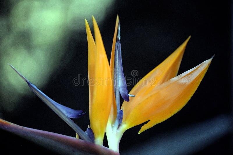 Attingere foto del fiore di strelizia fotografie stock