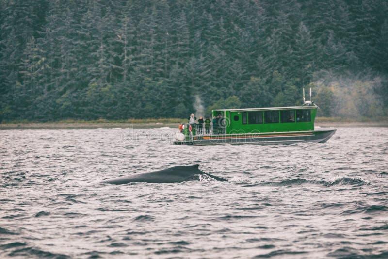 Attività di sorveglianza di giro della balena dell'Alaska come attrazione turistica popolare di escursione della nave da crociera fotografia stock