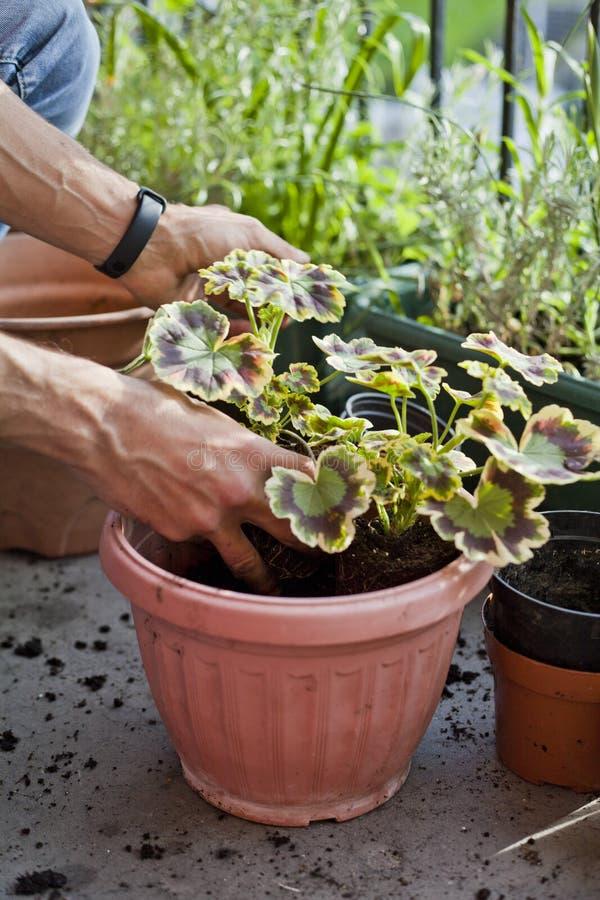 Attivit? di giardinaggio sul balcone soleggiato - rinvasando il geranio tricolore della pianta - pelargonium tricolour con decora fotografia stock libera da diritti