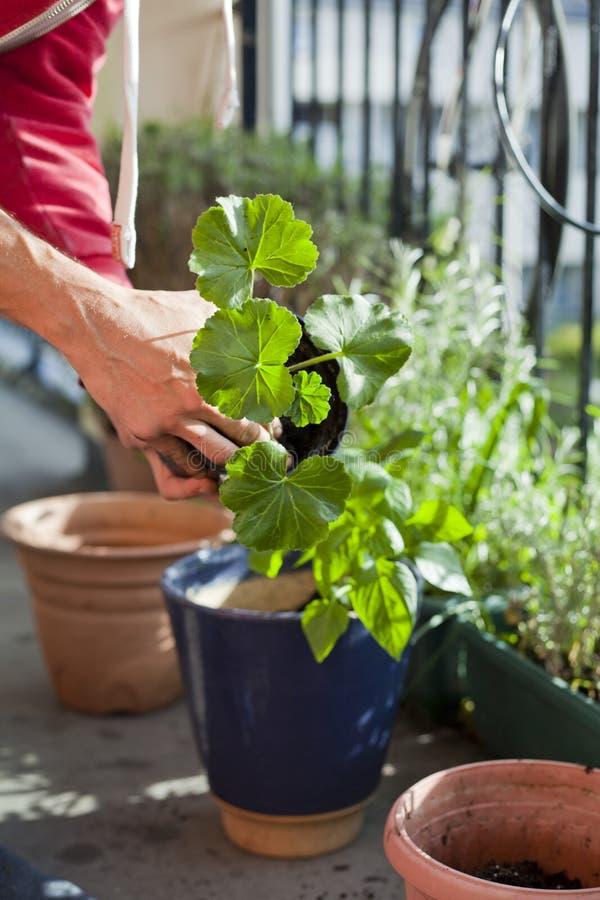 Attivit? di giardinaggio sul balcone soleggiato - rinvasare il geranio delle piante, il pelargonium, le piante del pepe, le piant fotografia stock