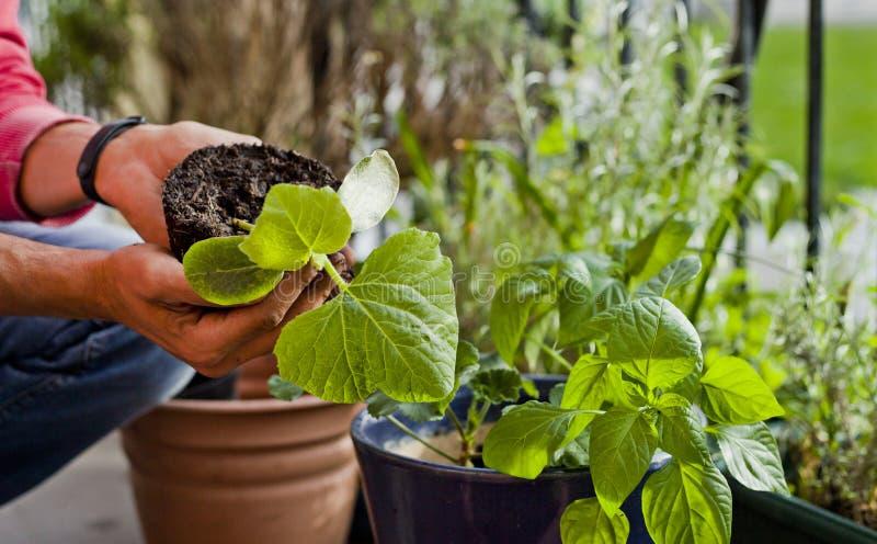 Attivit? sul balcone soleggiato - rinvasare del giardiniere il geranio delle piante, il pelargonium, le piante del pepe, le piant fotografie stock libere da diritti