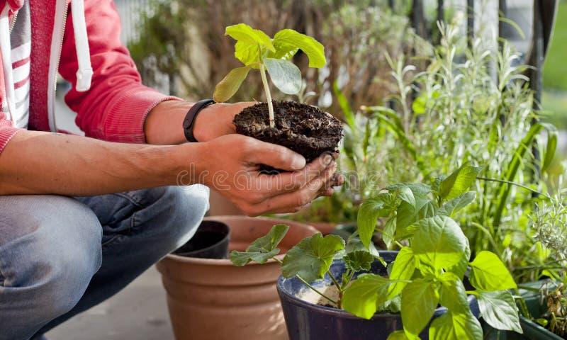 Attivit? sul balcone soleggiato - rinvasare del giardiniere il geranio delle piante, il pelargonium, le piante del pepe, le piant immagini stock