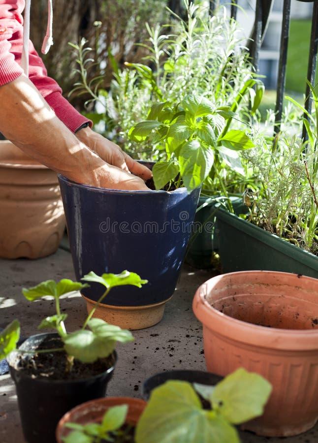 Attivit? sul balcone soleggiato - rinvasare del giardiniere il geranio delle piante, il pelargonium, le piante del pepe, le piant fotografie stock